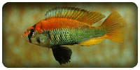 L'association Haplochromis
