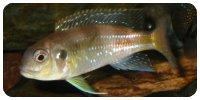"Limnochromis auritus ""Mutumba"""