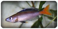 "Cyprichromis leptosoma ""Mpulungu"""