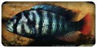 Neochromis rufocaudalis