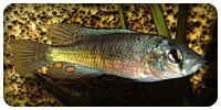 "Haplochromis sp. ""Matumbi hunter"""