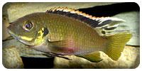 Benitochromis nigrodorsalis