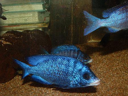 de petites vacances de cichlidophile eau douce divers aquarium webzine l 39 aquariophilie d. Black Bedroom Furniture Sets. Home Design Ideas