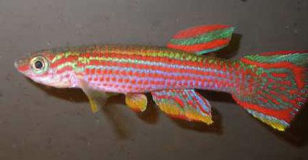 Les biotopes des killies eau douce afrique de l 39 ouest for Poisson pour aquarium eau douce