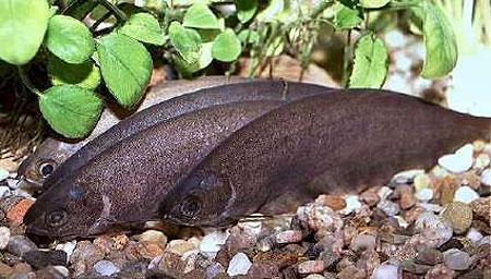"""Résultat de recherche d'images pour """"poisson dans une rivière d'afrique"""""""