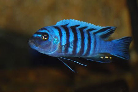 From the picture - it has the body color and barring pattern similar ...
