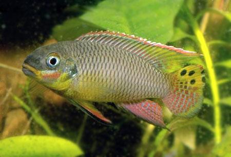 http://aquarium-webzine.com/images/ouest/Pelvicachromis%20taeniatus%20Moliwe/P-t-moliwe-male.jpg