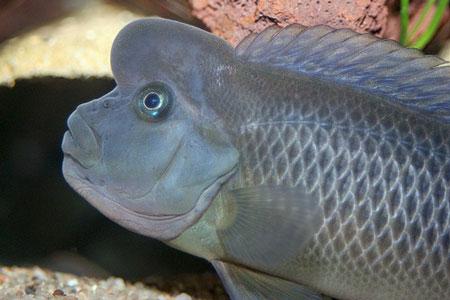 Steatocranus casuarius eau douce afrique de l 39 ouest for Gros poisson aquarium