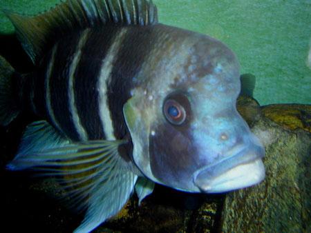 Laborer une population eau douce divers aquarium for Gros poisson aquarium