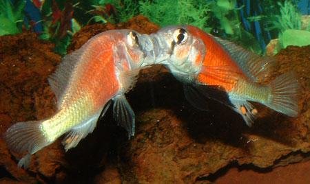 ... Haplochromis sp.