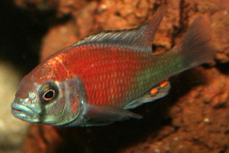 M?le Haplochromis sp.