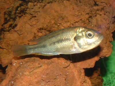 Hippo Point Salmon : Haplochromis sp.