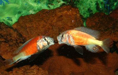 La taille de mes H. sp. ?Hippo point salmon? reproducteurs avoisine ...